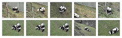 2016_10-01l1 (gkoo19681) Tags: beibei meixiang treattime yummyfruitcicle bigboyfruitcicle notsharing feetsies stealing togetherness toocute ccncby nationalzoo