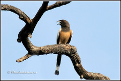 6479 - treepie (chandrasekaran a 40 lakhs views Thanks to all) Tags: treepie birds nature india chennai canon eos400d