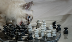 Checkmate in 3 moves (Jean-Luc Peluchon) Tags: fz1000 lumix panasonic echiquier chessboard chat chaton cat kitten puss cute baby yeux eyes animal look ragdoll jeu game play portrait wow