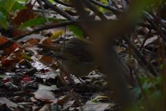 Hermit Thrush (Intrinsic3141) Tags: hermit thrush