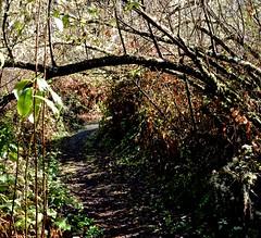 Ano Nuevo, Butano State Park, Goat Hill trails, Little Butano Creek Trail, banana slug, redwoods (David McSpadden) Tags: anonuevo bananaslug butanostatepark goathilltrails littlebutanocreek redwoods