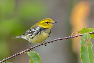 BJ8A8679-Black-throated Green Warbler