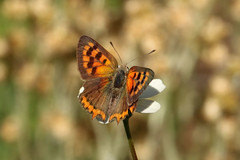 Small Copper - Lycaena phlaesas (Roger Wasley) Tags: smallcopper lycaenaphlaesas butterfly butterflies lapalma canaryislands spain spanish europe european barlovento