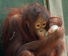orangutan ouwehands JN6A6822 (j.a.kok) Tags: orangutan orangoetan orang mensaap primaat primate aap ape monkey ouwehands ouwehand ouwehandsdierenpark ouwehandszoo