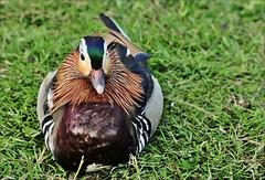 "4aaaol-eend.mandarijn-26-5-16-vlietw-k.vliet-leiden-(n.D700-t.150-600vc) (""HansFfloraFauna"") Tags: waterbird mandarinduck nikond700 colors"