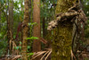 Southern Leaf-Tailed Gecko (J.P. Lawrence Photography) Tags: 2016 australia australia2016 gekkonidae gecko geckos herp herpetology herps lacertilia lizard lizards queensland reptiles reptile reptilia sauria squamata saltuarius saltuariusswaini spring2016 springbrook springbrooknationalpark squamates travel vertebrates vertebrata vertebrate