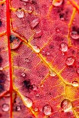 IMG_8936 (manleyaudio) Tags: canon5dmark2 canon 5dmarkii 5dmkii 100mm macro 100mml l lens fall leaves color water drops rain