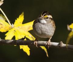 White-throated Sparrow (AllHarts) Tags: whitethroatedsparrow backyardarea memphistn