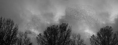 Panoramica estorninos b&w (jc.mendo) Tags: ngc jcmendo canon 7d tamron 18270 paisaje arboles cielo sky estorninos blanco negro bn bw black white