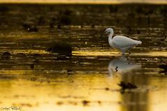 Le chercheur d'or (christophe.perraud.44310) Tags: animaux oiseau bird aigrette levdesoleil sunrise marais loireatlantique saintphilbertdegrandlieu france nature wildlife