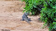 Tei-gigante (Tupinambis merianae) (Fbio & Carol - Ita - SP - Brasil) Tags: lagarto tei animal