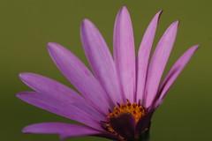 In the fading light (AngharadW) Tags: orange petals macro cymru wales pollen pink dof green