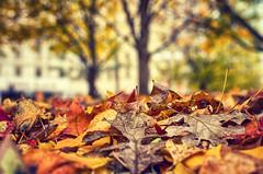 Autumn Layers (flashfix) Tags: october242016 2016 2016inphotos nikond7000 nikon ottawa ontario canada 40mm autumn leaves bokeh nature downtown lordelgin confederationpark trees pileofleaves sunshine 2minutemacro macro layers lines damp