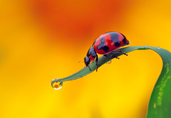 Lady Bird & Refraction (karthik Nature photography) Tags: macro macrophotography macrolife macroworld macrolifeinindia insects insectphotography beautifulbugs bugs flies insect garden gardenphotography ladybird ladybug nature naturephotography