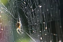Spider (Fabien GOUBY) Tags: spider spiderweb depthoffield england surrey fall autumn trap insect animal light sun sunshine predator wildlife wildlifephotography macro