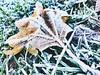 F-r-o-s-t ( #cc ) (marfis75) Tags: cc wiesbaden marfisblatt fall leaves frost cold kalt frieren gefroren ice icy marfis drausen outside blatt liegen lay liegend runtergefallen gefallen frust