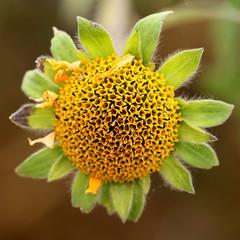 Asteraceae (Pablo Leautaud.) Tags: sanluistlaxialtemalco xochimilco mexico ciudaddemexico df cdmx naturaleza pleautaud asteraceae