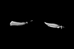plume vole I (Philippe Gillotte) Tags: nb bnw plume blackandwhite light lighting