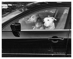 Riding along in my automobile........ (TAC.Photography) Tags: dogs humor whimsical dogdrive