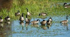 Canadian Geese (Black Hound) Tags: sony a500 minolta johnheinznationalwildliferefuge geese canadiangeese