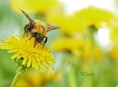Bright (N.Clark) Tags: ilovedandelions bee pollinator beeondandelion bright insects bees brightyellow wannabewarmerwednesday