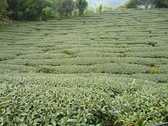 Ruili Tea (Suhopese) Tags: tee tea taiwan ruili