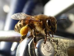 P1030988-Biene macht ne Pause (Wallus2010) Tags: biene fahrrad makro macro panasonic tz61 grosmoor herbst november gegenlicht macrodreams bee bike golight