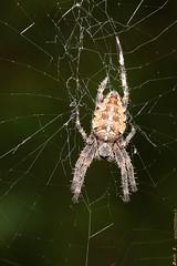 4294 (EricS2010) Tags: épeire diadème porte croix arachnide aranéide araneidae brun orange poil pattes huit 8 araignée orbitèle toile