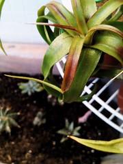 T. streptophyla (hug0ncalves) Tags: airplant tillandsias tstreptophylla streptophylla tillandsiastreptophylla