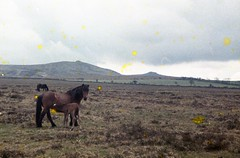 img072 (foundin_a_attic) Tags: 1964 cornwall horse pony green grass mores fence barbed wire