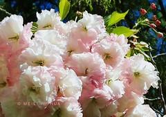 88. PINK SAKURA: Bright Expectations (www.YouTube.com/PhotographyPassions) Tags: tree plant flower buds blooms blossoms cherryblossom bush flowers sakura mlpphflora blossom