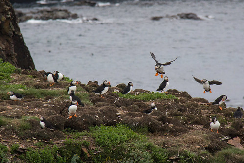 Puffins at Elliston 17
