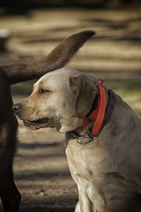DSC_0059 (Harlum) Tags: boxer germanshepherd lab dogpark wolfhybrid husky malamute nikon nikond100 nikond5100 dogs