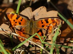 Comma (ukstormchaser (A.k.a The Bug Whisperer)) Tags: comma uk butterflies animals fly flies wildlife milton keynes leaf leaves basking insects november macro