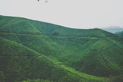 DSCF1122 (tzeyangtan) Tags: cameron highlands getaway green sgpalas tea plantation photography