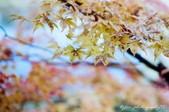 Maple ( ()) Tags: rossmann 400 rossmann400 pentax m42 spf  film  supertakumar55mmf18 takumar 55mm f18 55 18 bokeh filmphotography japan