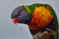 Rainbow Lorikeet 2 (RoosterMan64) Tags: australia australiannativebird bird lorikeet nsw nature rainbowlorikeet wildlife