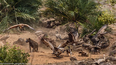 Water Buffalo Kill (AndreDiener) Tags: wild wildanimals wildhyena hyena vultures waterbuffalo krugernationalpark gamereserve kill dead