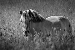 Horse (vilomaki) Tags: blackandwhite bw horse hevonen summer canonef300mmf4lisusm canoneos70d