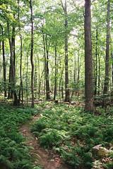 (Doug J.) Tags: film 35mm canon eos rebelg 500n sigma 2880mm fuji fujifilm superia xtra 400 forest woods trail path hike nature trees ferns summer