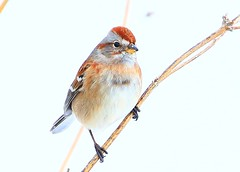 American tree sparrow at Lake Meyer Park IA 854A3773 (lreis_naturalist) Tags: american tree sparrow lake meyer park winneshiek county iowa larry reis