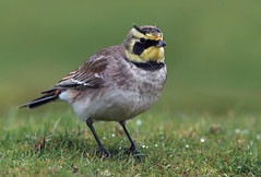 Shore Lark (oddie25) Tags: canon 1dx 600mmf4ii lark shorelark bird rarebird nature winter wildlife