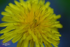 Yellow....Blue.....Flower.... (andreea_loredana) Tags: flower macro andreealoredanamihailiuc yellow outdoors light pure soul beautiful explore