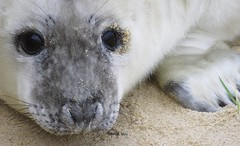 Seal Pup (mr_snipsnap) Tags: seal pup baby grey norfolk beach animal mammal sea nature wildlife ocean coast sand fauna