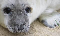 Seal Pup (mr_snipsnap) Tags: seal pup baby grey norfolk beach animal mammal sea nature wildlife ocean coast sand fauna