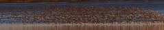 Dunlin Departure (5 of 6) (Robin M Morrison) Tags: dunlin riverparrett somerset