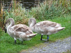 Newport Shropshire canal 111011old photos Liz Callan (23) (LIZ CALLAN) Tags: newport shropshire canal dog bordercollie grass water swans cygnets bridges paths waterlilies lizcallan lizcallanphotograph lizcallanphotography trees outside landscape