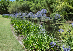 Agapanthus .... another perspective (idunbarreid - on and off) Tags: agapanthus