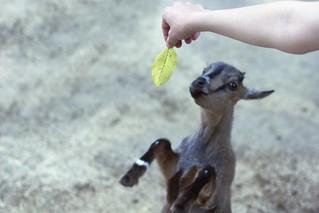 Little Swiss Mountain Goat!