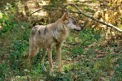 Wolf (Matt Ibbs) Tags: wild summer mammal nikon wolf reserve poland polska august wildanimal hunter sanctuary wilk 2015 białowieża canislupus lato wildlifereserve sierpień sigma500mm d7200